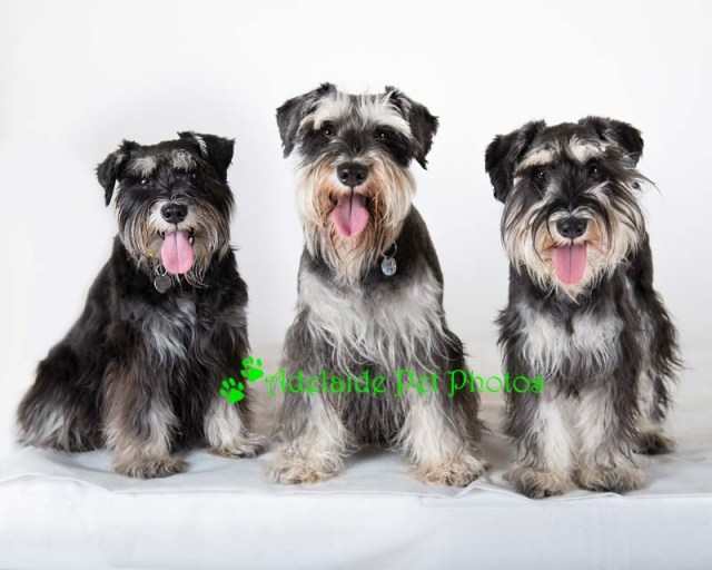 Pet Portrait Photography or Schnauzers