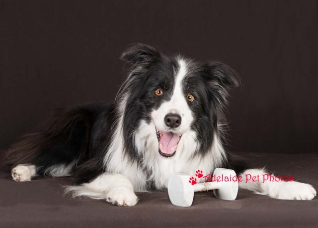 Border Collie photo by Adelaide Pet Photos