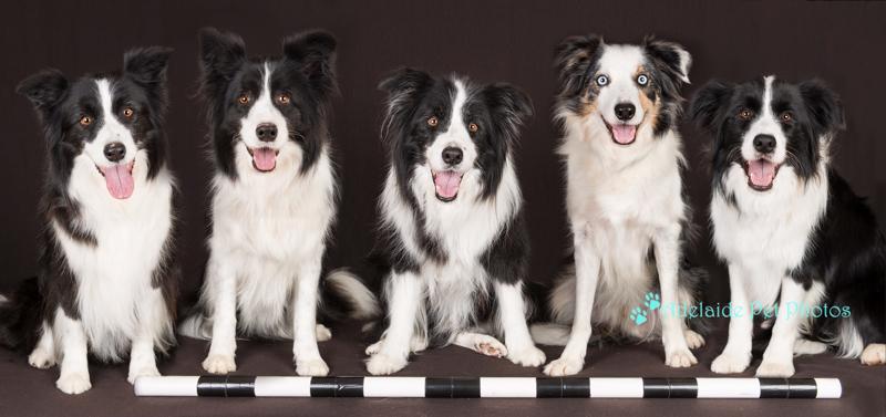 Border Collies photograph by Adelaide Pet Photos