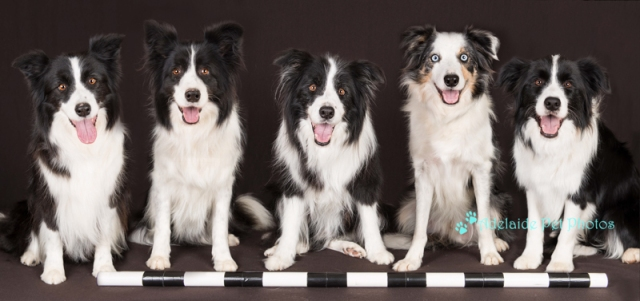 Border Collies photograph by Adelaide Pet Photos